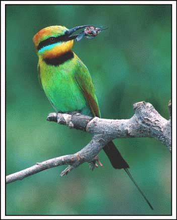 Bee eater with grub, Jim Thoms